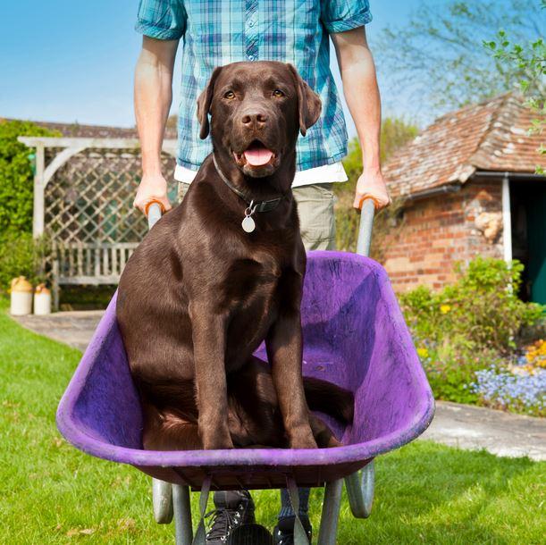 Dog in Wheelborrow